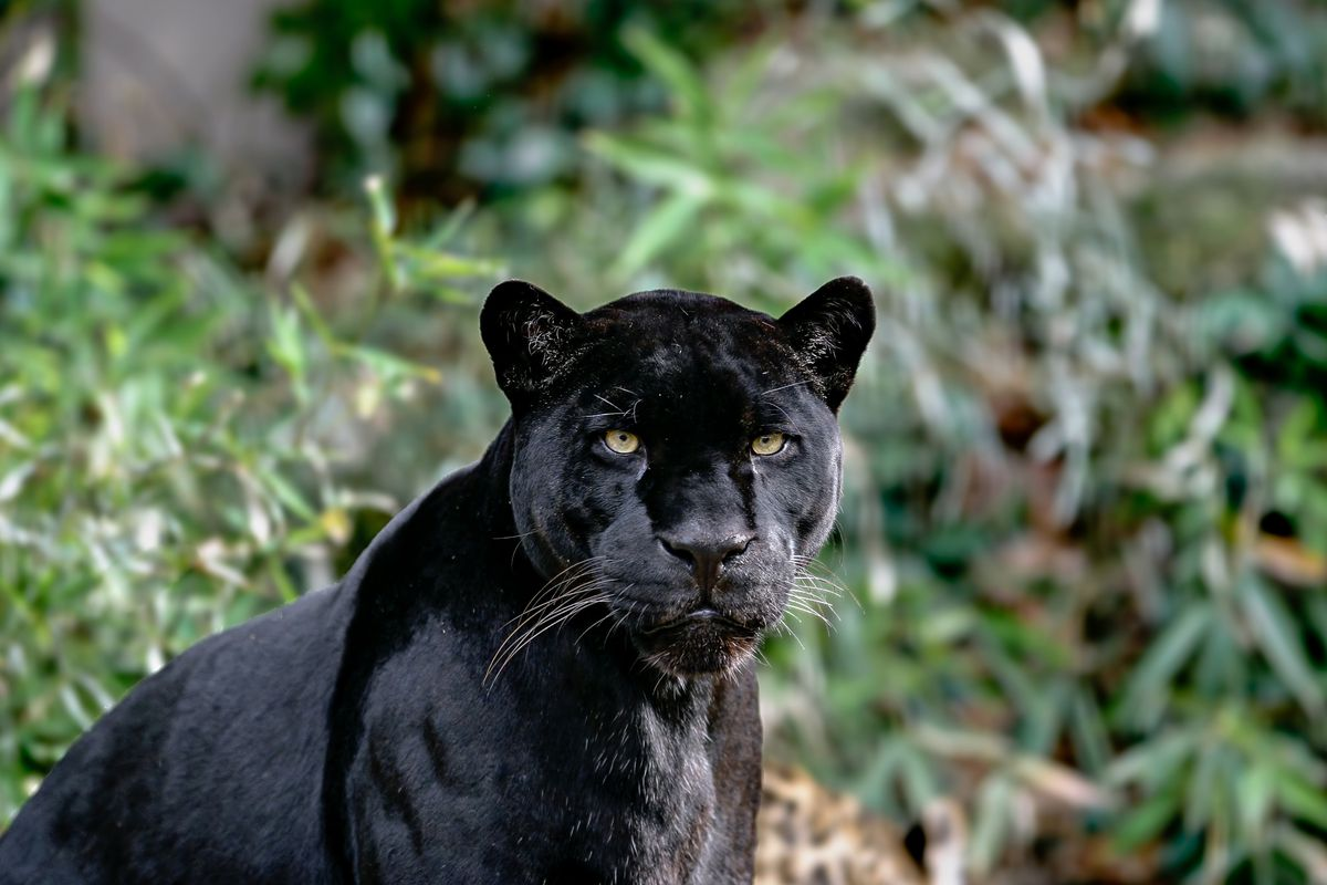 Jaguar attacks woman who was reportedly taking a selfie and