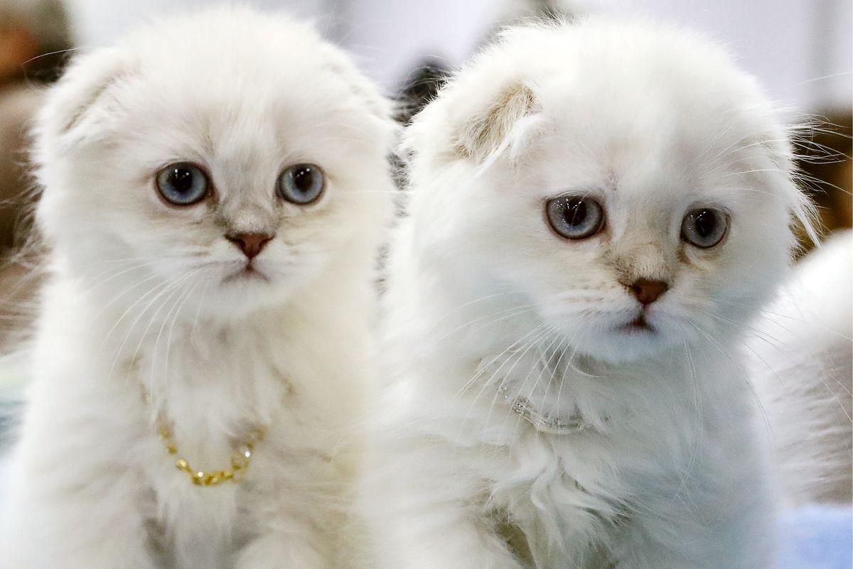 KoShariki-Show cat show in Moscow