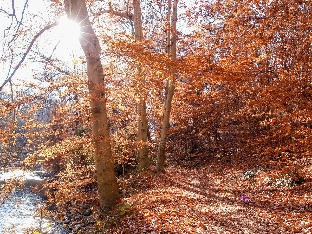 Trees in full fall foliage along a brook.