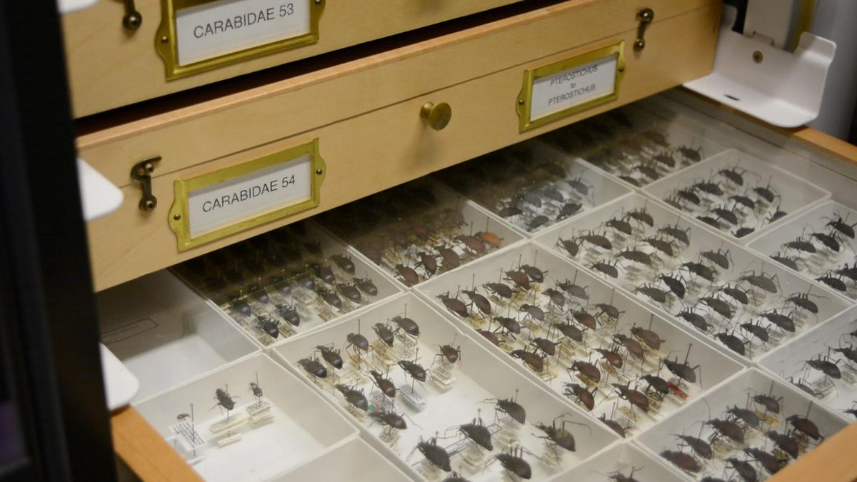 Dead beetles pinned into rows in boxes in a collection cabinet drawer.
