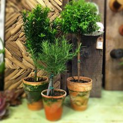 Various Topiaries including Myrtle (the tallest one), Euyonomous, both $20, and the smallest is a rosemary topiary at $11.