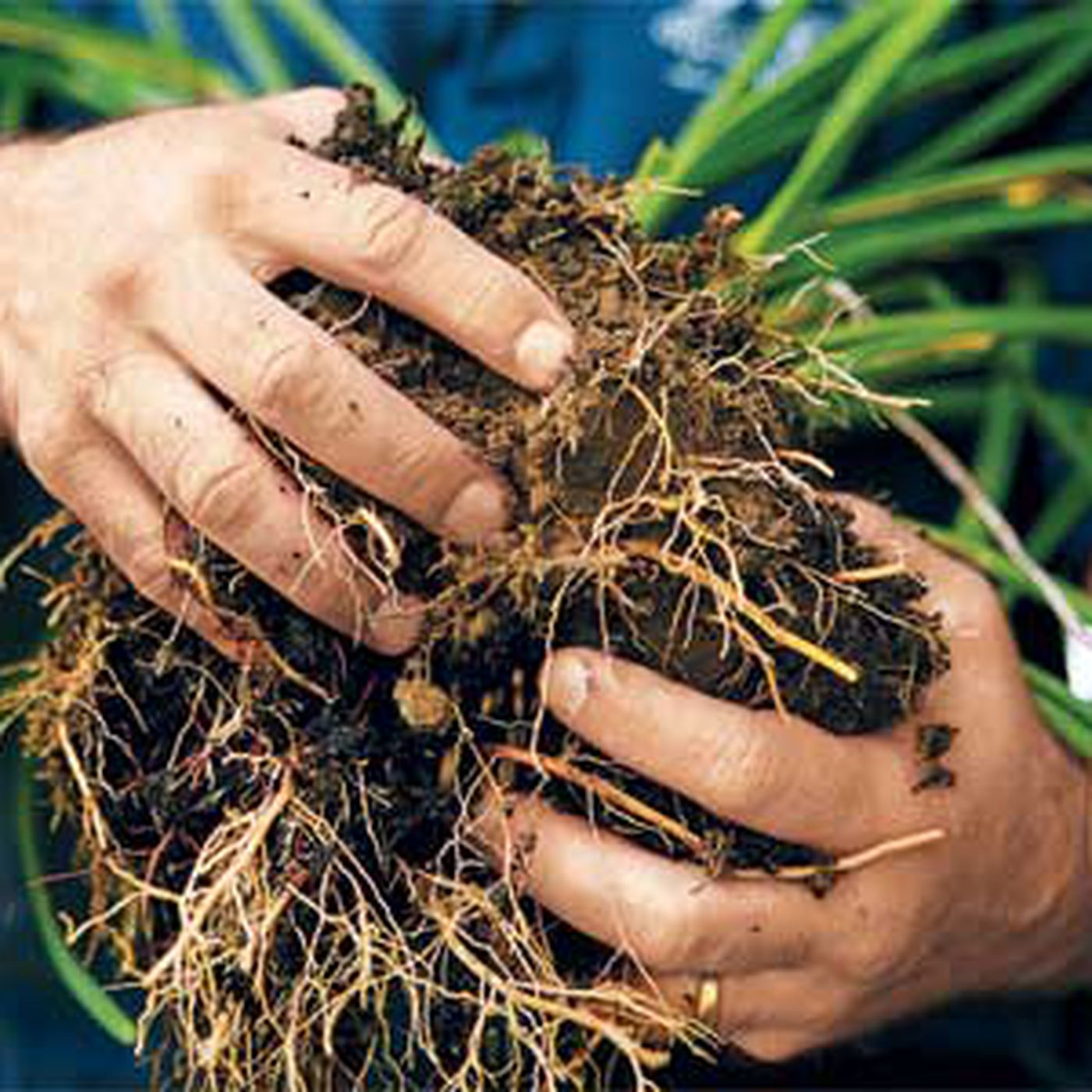 How To Divide Overgrown Perennials This Old House