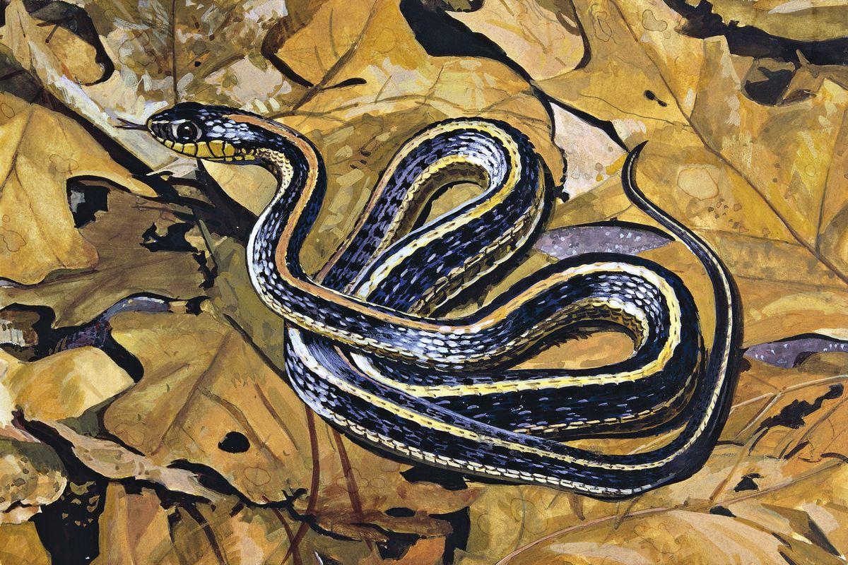 Common garter snake (Thamnophis sirtalis) on leaves, illustration