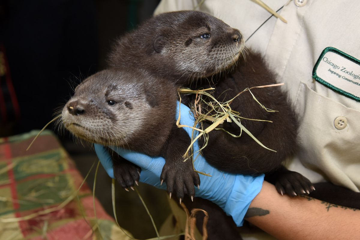 The otter pups are the first of their species to be born successfully at Brookfield Zoo.   Jim Schulz/Chicago Zoological Society
