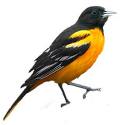 Baltimore oriole avatar