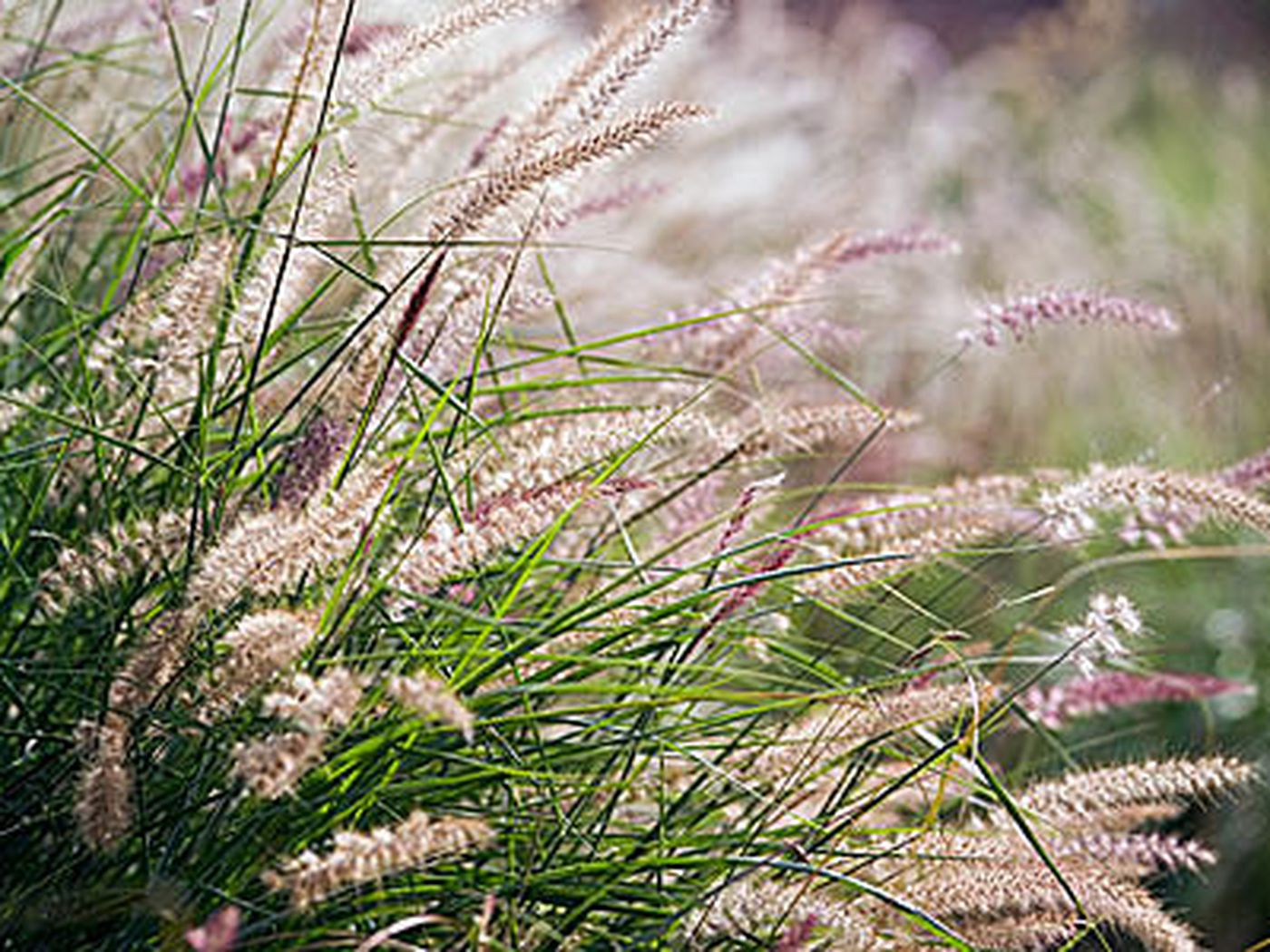 Drought Resistant Ornamental Grasses This Old House
