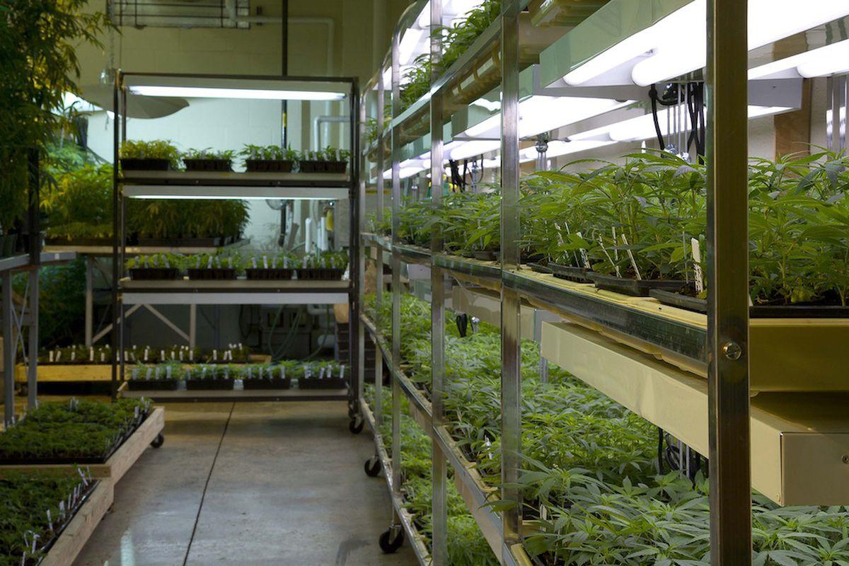 Marijuana plants at the University of Mississippi's federal clinical stockpile (Credit: University of Mississippi)
