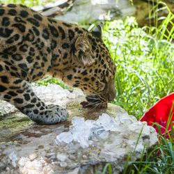 An Amur leopard finds hidden treats during Ice Block Day at Hogle Zoo on Saturday, July 11, 2015, in Salt Lake City.