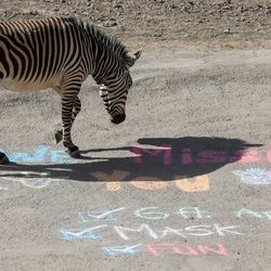 A zebra strolls over message written in chalk at Hogle Zoo on Saturday, May 2, 2020. The zoo reopened to guests after closing because of the COVID-19 pandemic in March. It has new regulations in place to help avoid the spread of the virus.