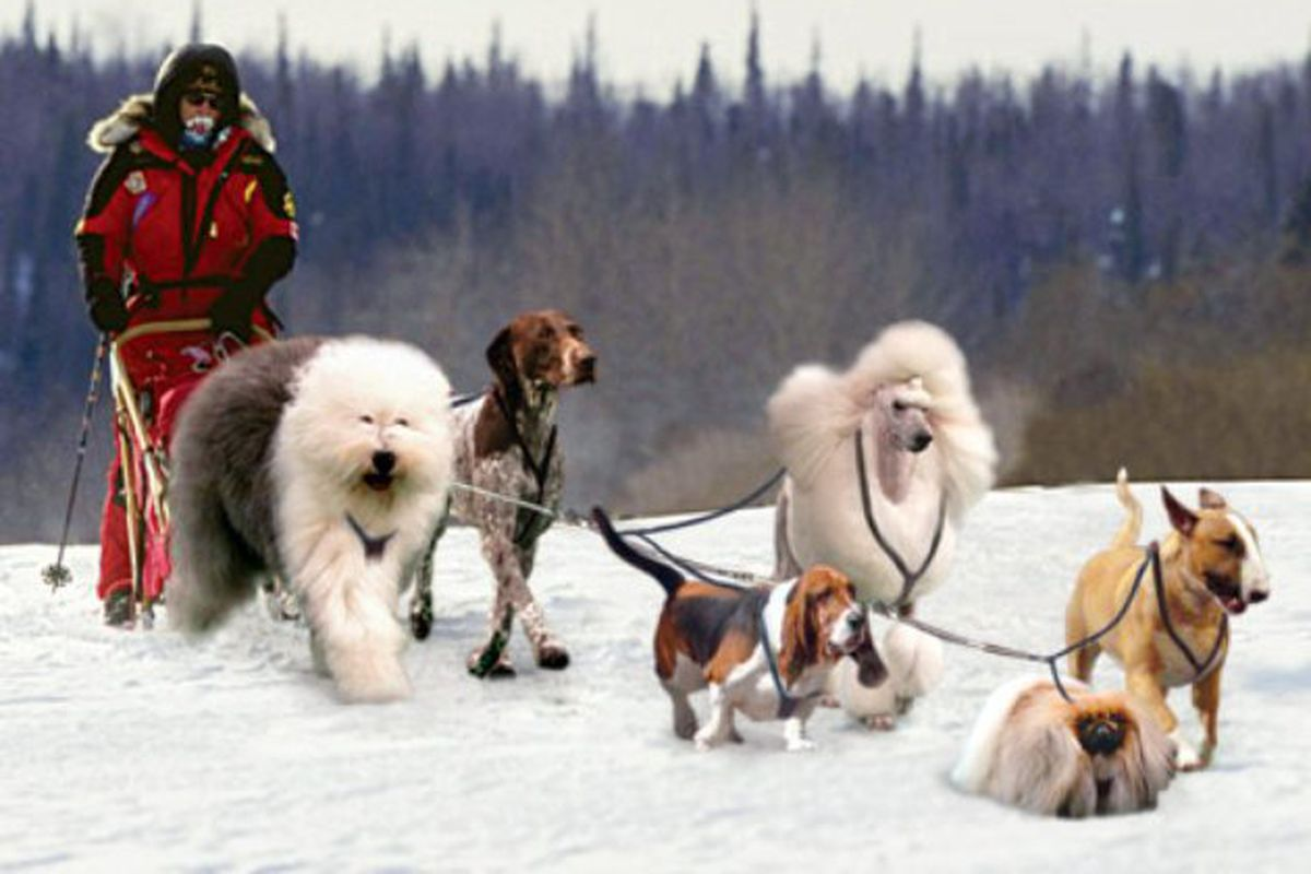 """via <a href=""""http://www.onionsportsnetwork.com/articles/westminster-dog-show-finalists-form-elite-iditarod,9858/"""">onionsportsnetwork.com</a>"""