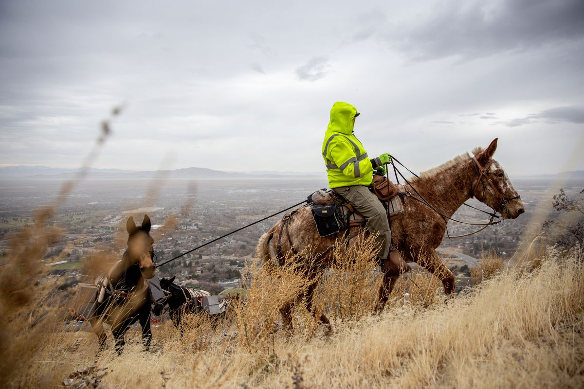 Brad Strong, of Strong Solutions, leads a team of mules ferrying supplies to a mine tunnel opening being closed above Layton on Wednesday, Nov. 18, 2020. Strong Solutions was contracted by the Utah Division of Oil, Gas and Mining to close the opening. Their use of mules to transport equipment reduces the cost of the job, as compared to using a helicopter, while impacting the environment less than using motorized equipment.