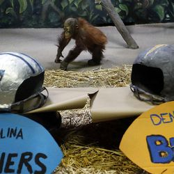 Tuah, an orangutan at Salt Lake City's Hogle Zoo, walks through his enclosure on Thursday, Feb. 4, 2016, before picking the Carolina Panthers to beat the Denver Broncos in Super Bowl 50. For the past eight years, an animal at Hogle Zoo has correctly predicted the winner of the Super Bowl. The game will be played Sunday at Levi's Stadium in Santa Clara, California.