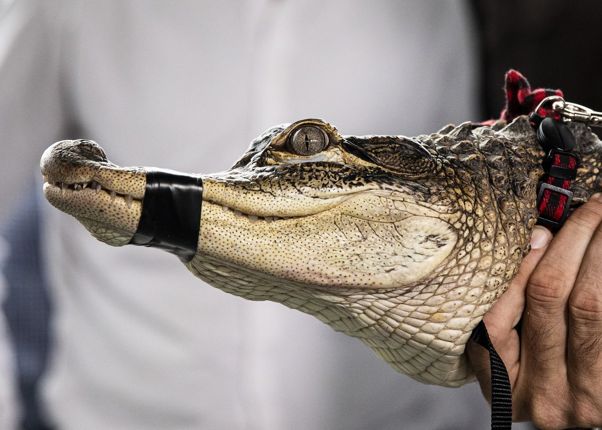 Florida alligator expert Frank Robb shows off an alligator he rescued overnight from the Humboldt Park Lagoon