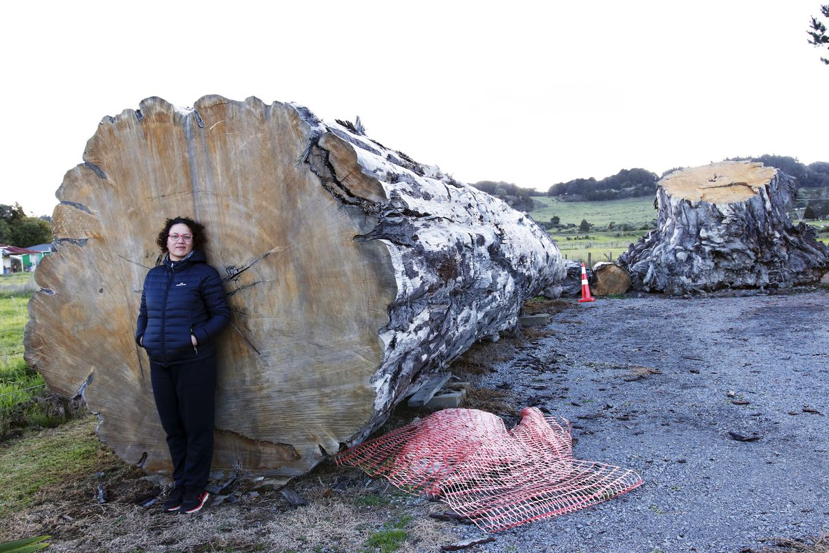A person standing in front of a cross-section of a massive felled tree.