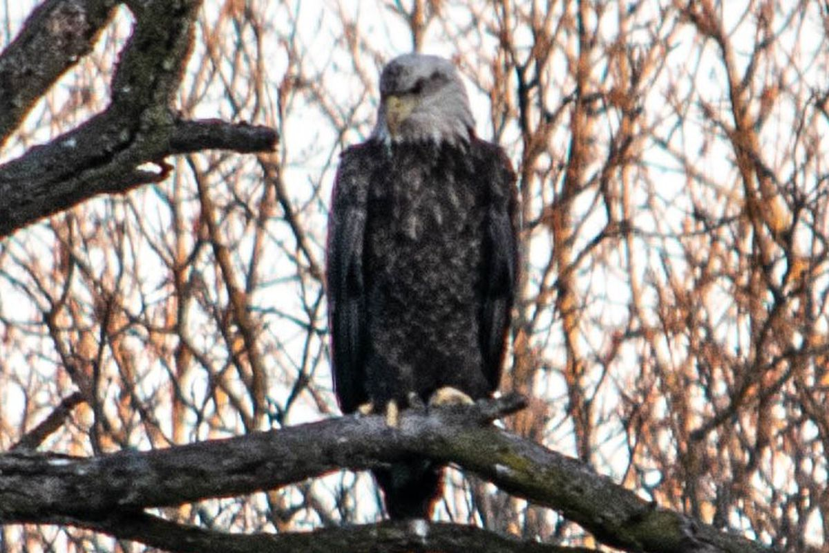 Bald eagle by the Fox River. Credit: John Cuculich