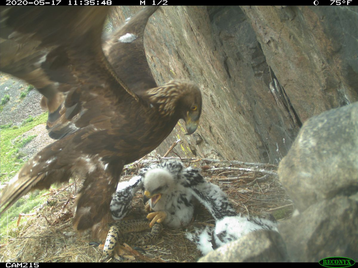 An adult golden eagle delivers a snake for its nestlings to eat at a nest in Utah on May 17, 2020.