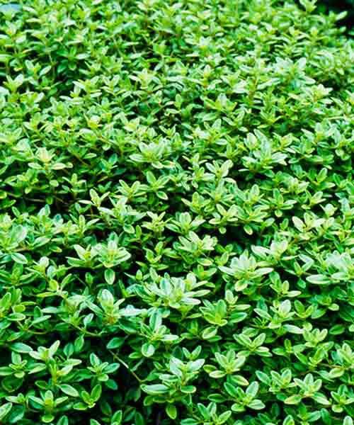 Lemon Thyme (Thymus Citriodorus) Groundcover