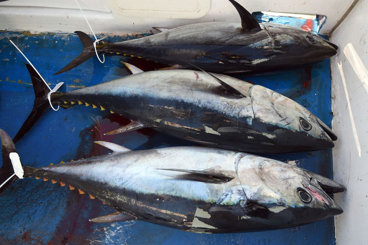 overfishing has endangered bluefin tuna so the us is cracking down