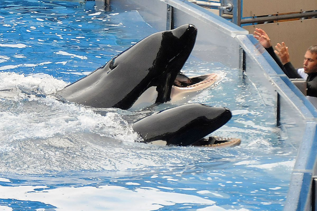 Tilikum, an orca whale at SeaWorld's Orlando park that has been involved in the deaths of three people.