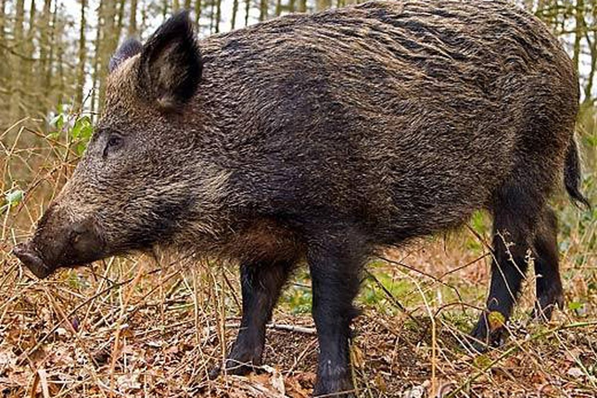 this is why you re seeing more wild boar on menus lately eater new