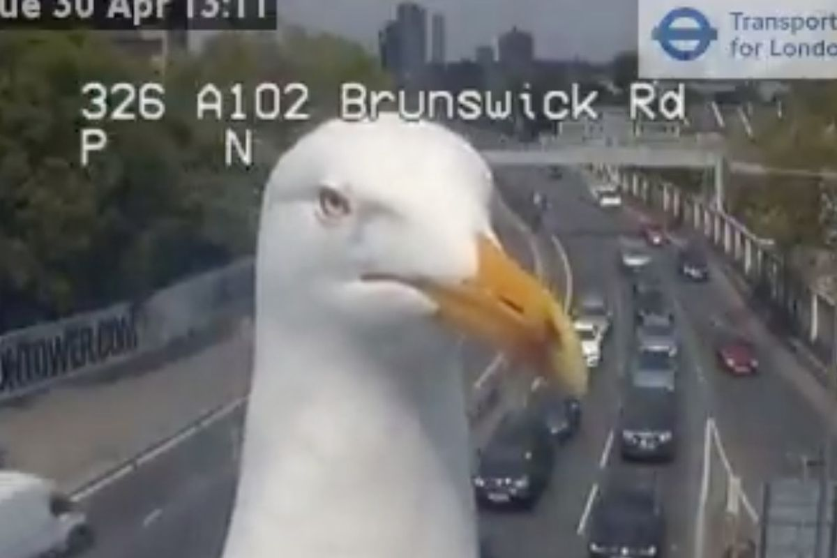 Employees of London's Transport for London got a close-up view of a seagull Monday after the bird stopped directly in front of one of their traffic cameras and stayed there for several moments.