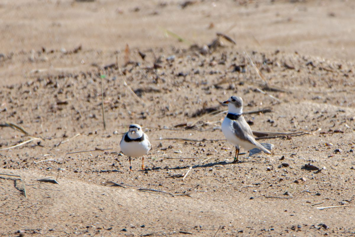 Piping plovers Monty and Rose were spotted on Montrose Beach on Friday.