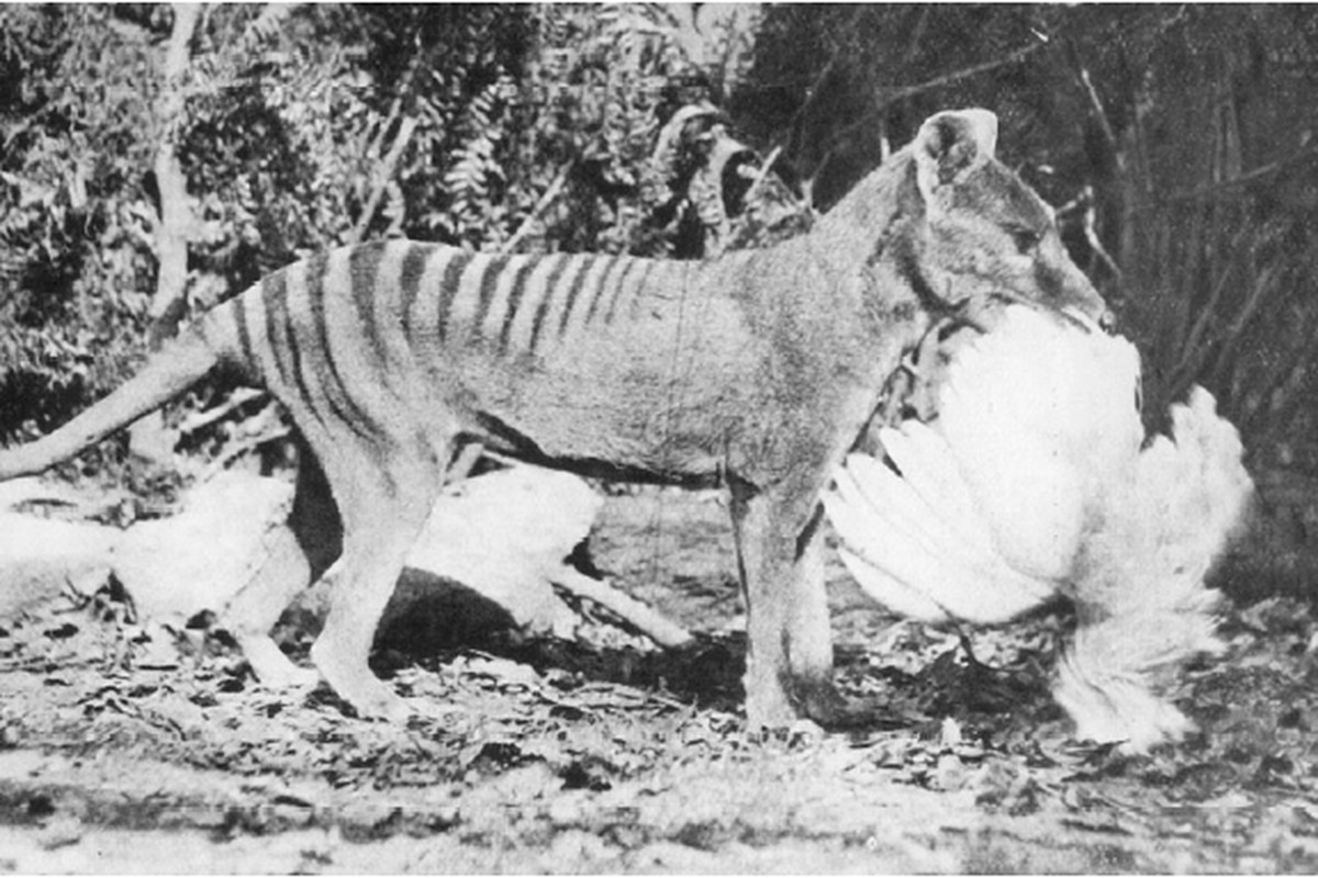 """via <a href=""""http://upload.wikimedia.org/wikipedia/commons/6/6a/Thylacine-chicken.png"""">upload.wikimedia.org</a>"""