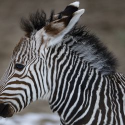 A 2-week-old Hartmann's mountain zebra stands in the African Savanna exhibitat Utah's Hogle Zoo in Salt Lake City on Thursday, Jan. 28, 2021. The male zebra was born Friday, Jan. 15, and with the help of his mother, who cleaned and coaxed him, he was standing on his own within 30 minutes and awkwardly walking shortly thereafter. The zoo is encouraging the community to help name him by going to the zoo's Facebook page.