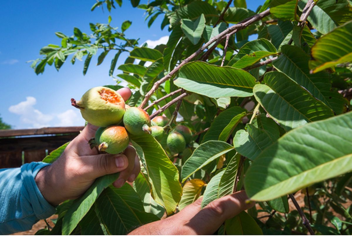 """Jaime Isidoro plants fruit trees in his backyard during his time off and says he has noticed the summers getting hotter every year. """"This is the first time this guava tree bore fruit,"""" he says. """"I was expecting a good crop, but the heat is too high, and it's burning the fruit."""""""