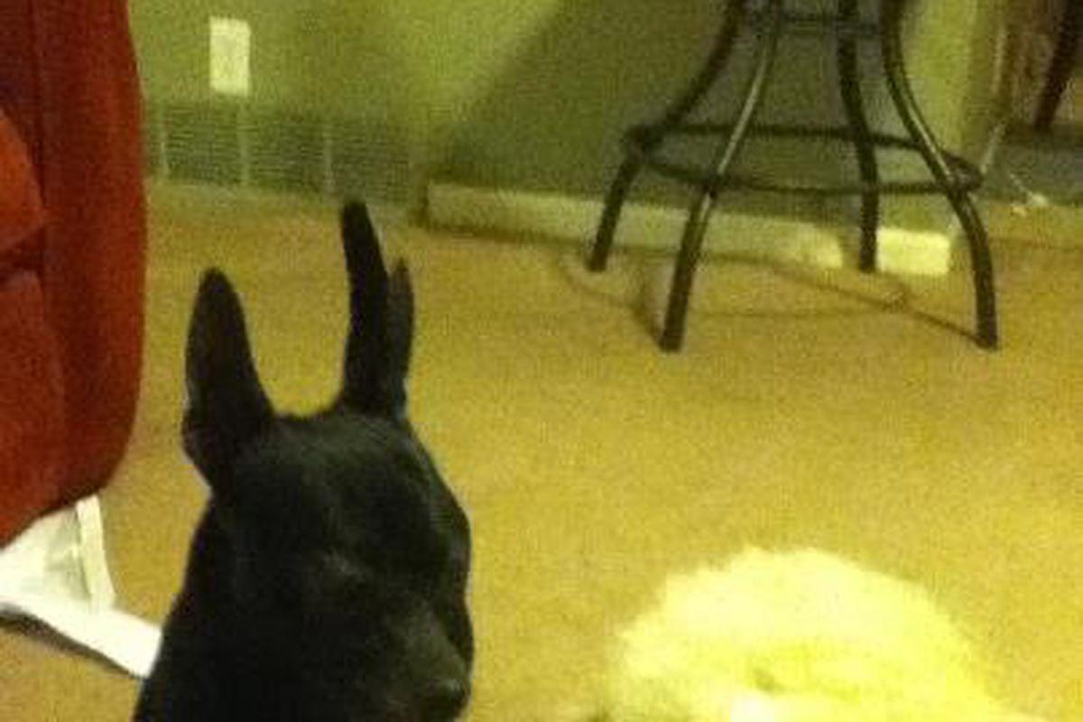 Flippy The Chihuahua
