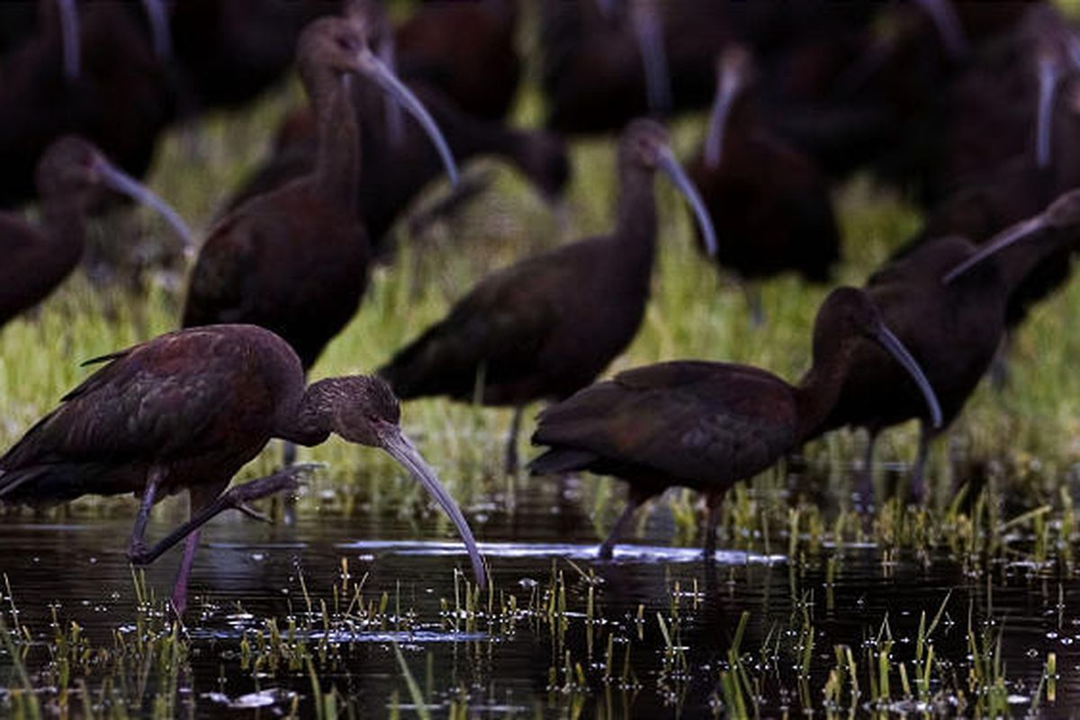 A flock of ibis gathers in a flooded field west of I-215 in Salt Lake City Sunday. More thunderstorms are in store for this afternoon and evening along the Wasatch Front, with highs in the low 80s. Daily high temperatures will climb several degrees each d
