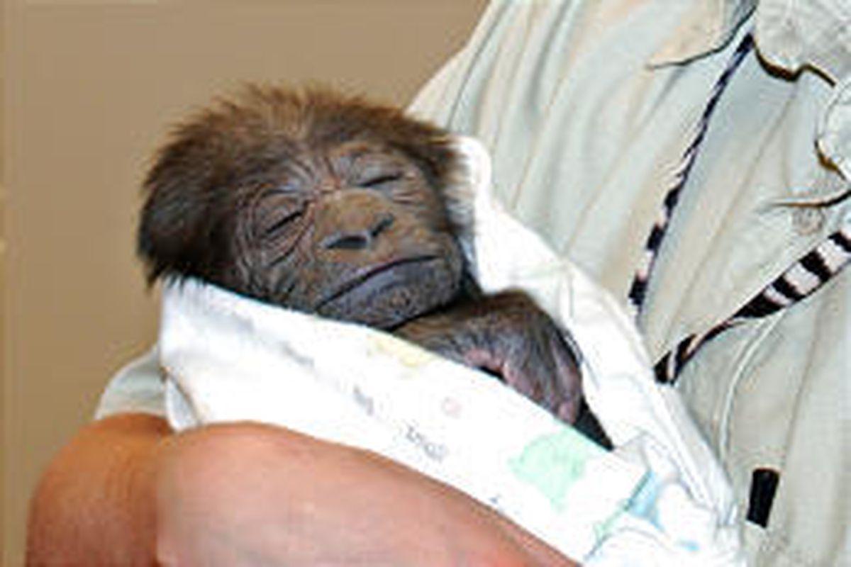 A zoo worker holds a newborn Western lowland gorilla Saturday in Omaha, Neb.