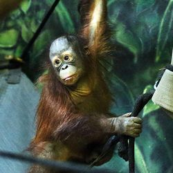 Tuah, an orangutan at Salt Lake City's Hogle Zoo, moves through his enclosure on Thursday, Feb. 4, 2016. Tuah picked the Carolina Panthers to beat the Denver Broncos in Super Bowl 50, which will be played Sunday at Levi's Stadium in Santa Clara, California. For the past eight years, an animal at Hogle Zoo has correctly predicted the winner of the Super Bowl.