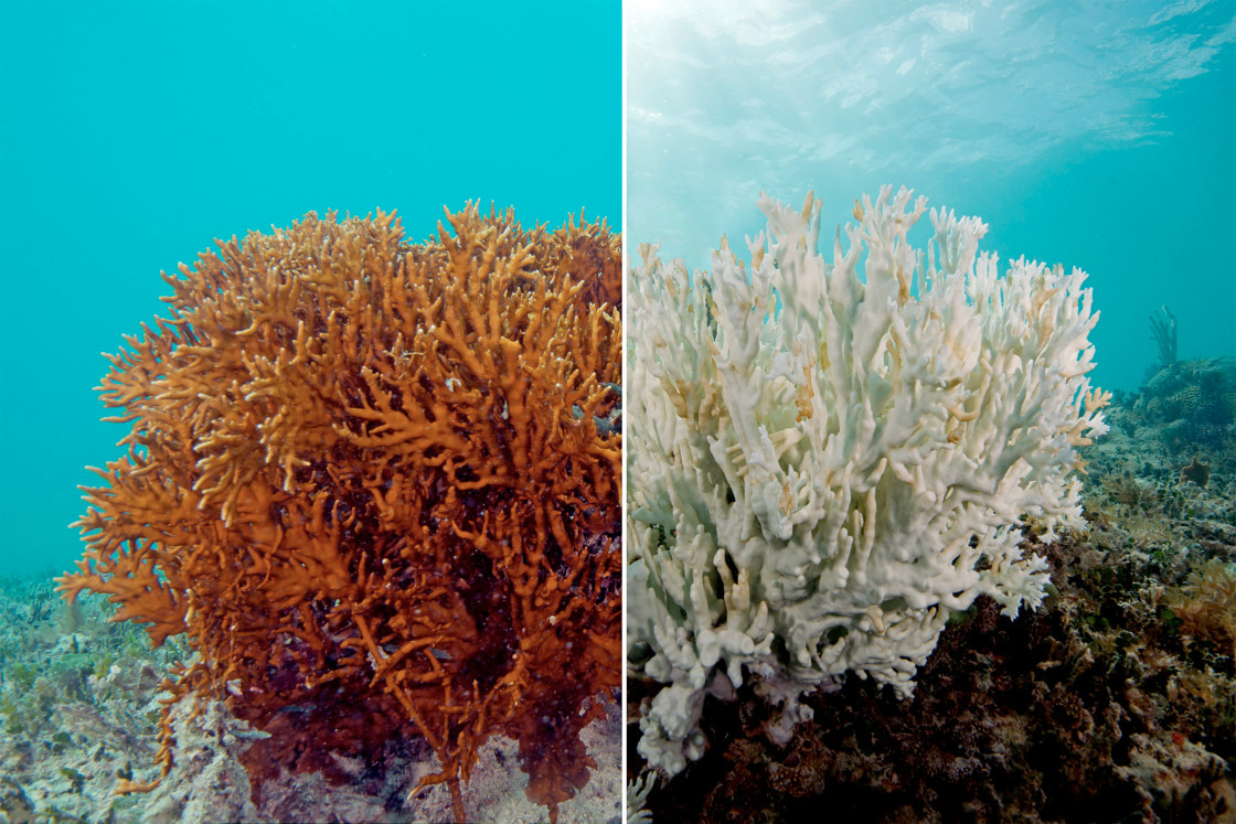 Photo of a healthy and unhealthy fire coral