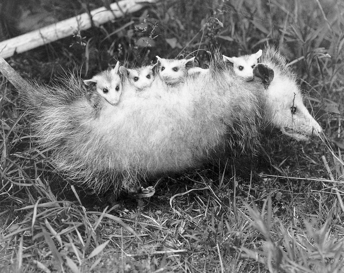 A mother possum carries her babies