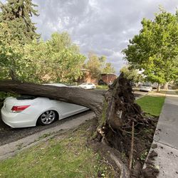 Strong winds blew a tree over in Salt Lake City near the 1800 south block of 200 East early Tuesday, Sept. 8, 2020.