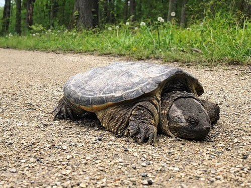 A large snapping turtle noticed wandering the Des Plaines River Trail in Des Plaines. Provided by Brian Johnston