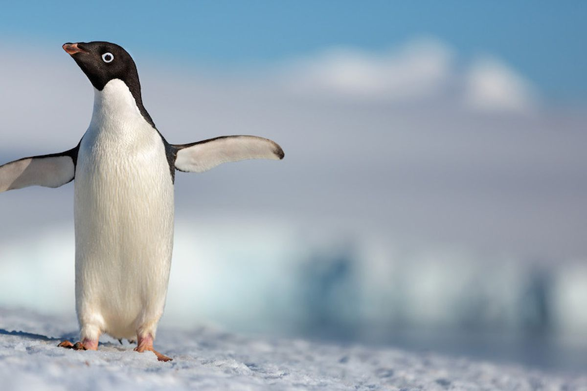 """Disneynature's all-new feature film """"Penguins"""" is a coming-of-age story about an Adélie penguin named Steve who joins millions of fellow males in the icy Antarctic spring on a quest to build a suitable nest, find a life partner and start a family. None of"""