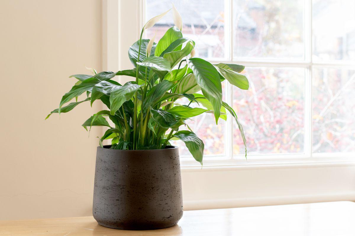 House Plants, Peace Lily