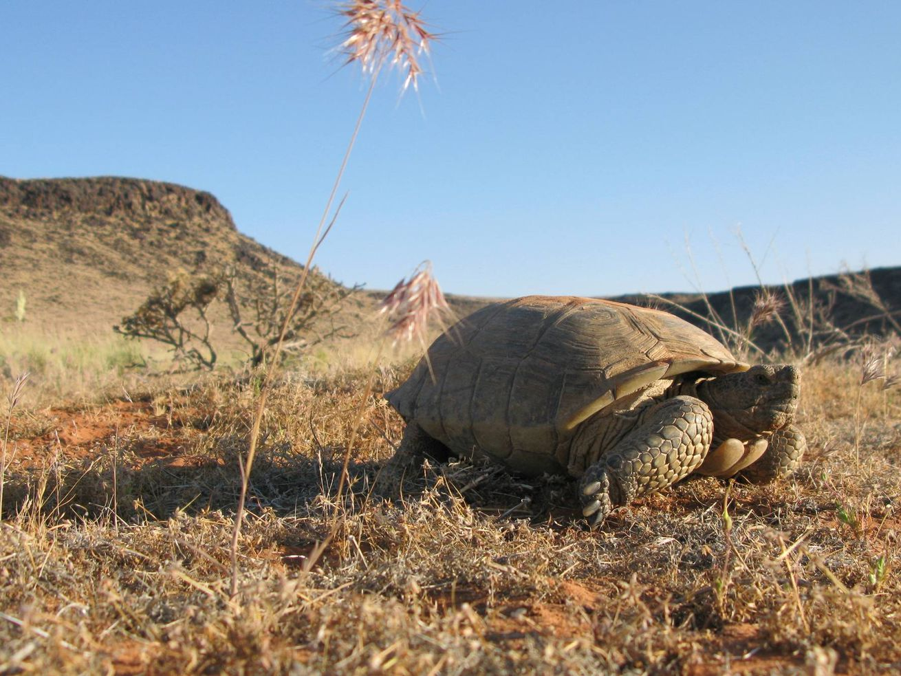 A desert tortoise basks in the sun in  2010.