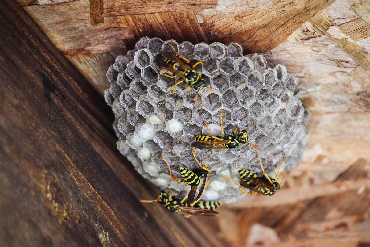 A wasp nest on the banister of a home with bright yellow wasps.