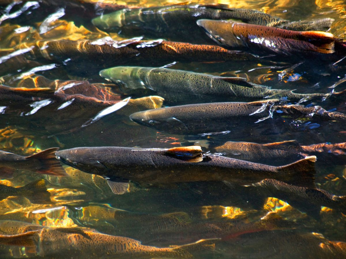 Different colors of salmon crowd together just under the surface of shallow water with a rocky bed.