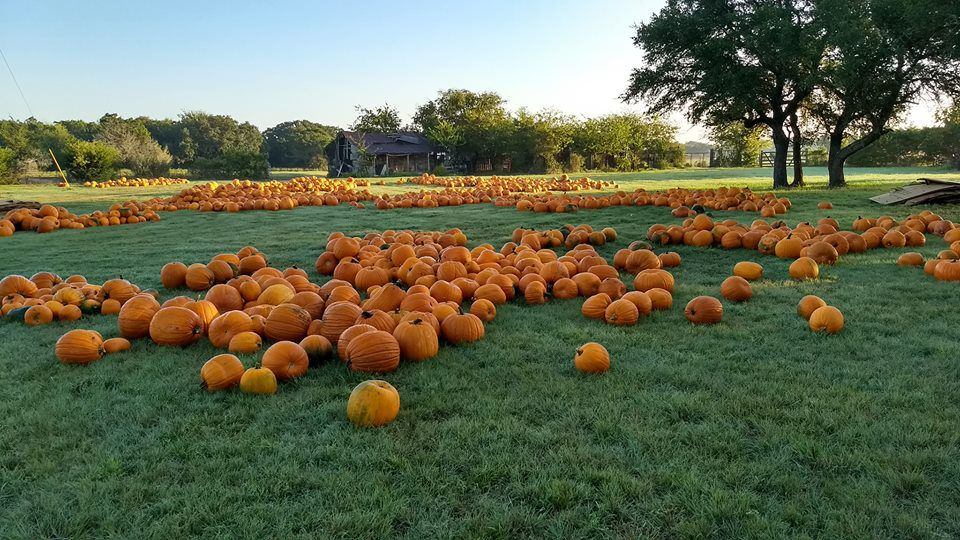 A pumpkin patch full of orange pumpkins.