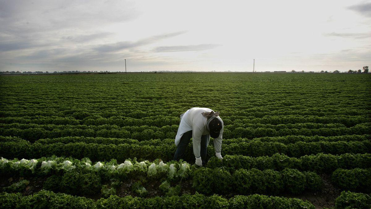 A farm worker harvests lettuce in a green field.
