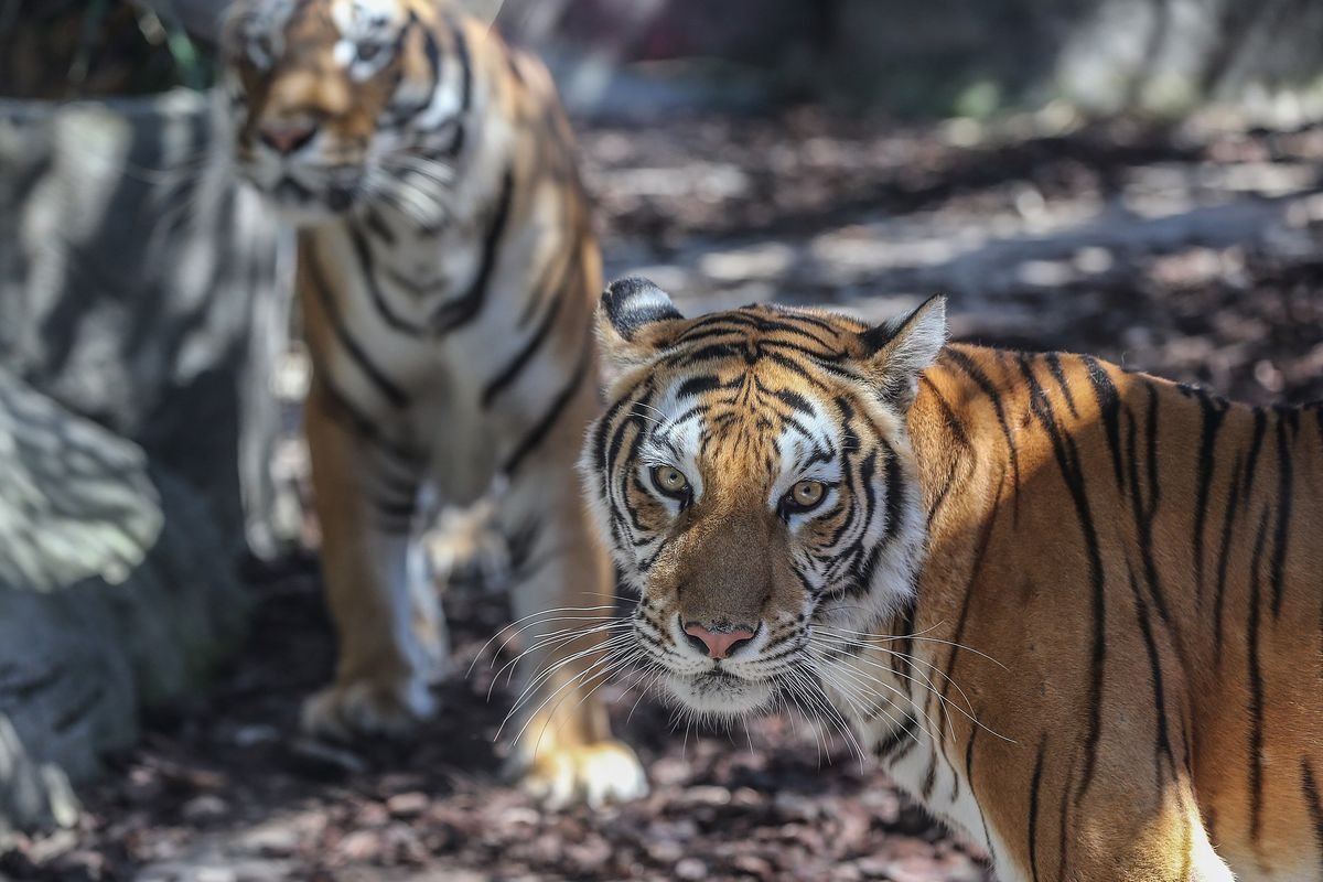 Istanbul's first Bengal tiger cubs meet their visitors