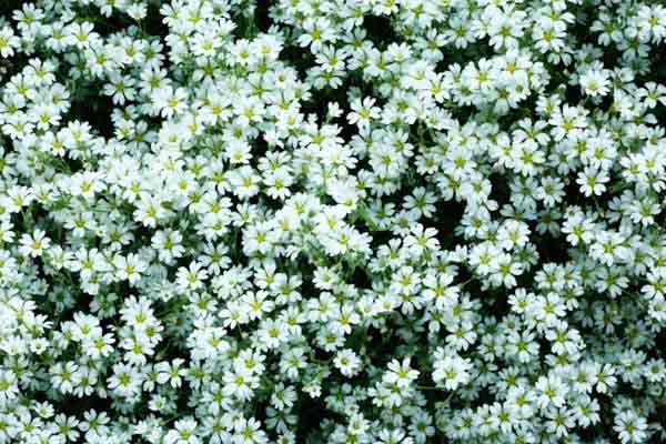 'Snow In Summer' (Cerastium Tomentosum) Groundcover