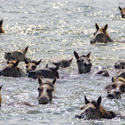 Wild ponies and foals swim from Assateague Island, Va., to Chincoteague island during the 94-year-old swim tradition of Pony Penning on Wednesday, July 24, 2019. During the event, the horses navigate through the water for a couple hundred yards, and, after resting, are walked down the streets of Chincoteague and eventually end up at a carnival where the foals are actioned.