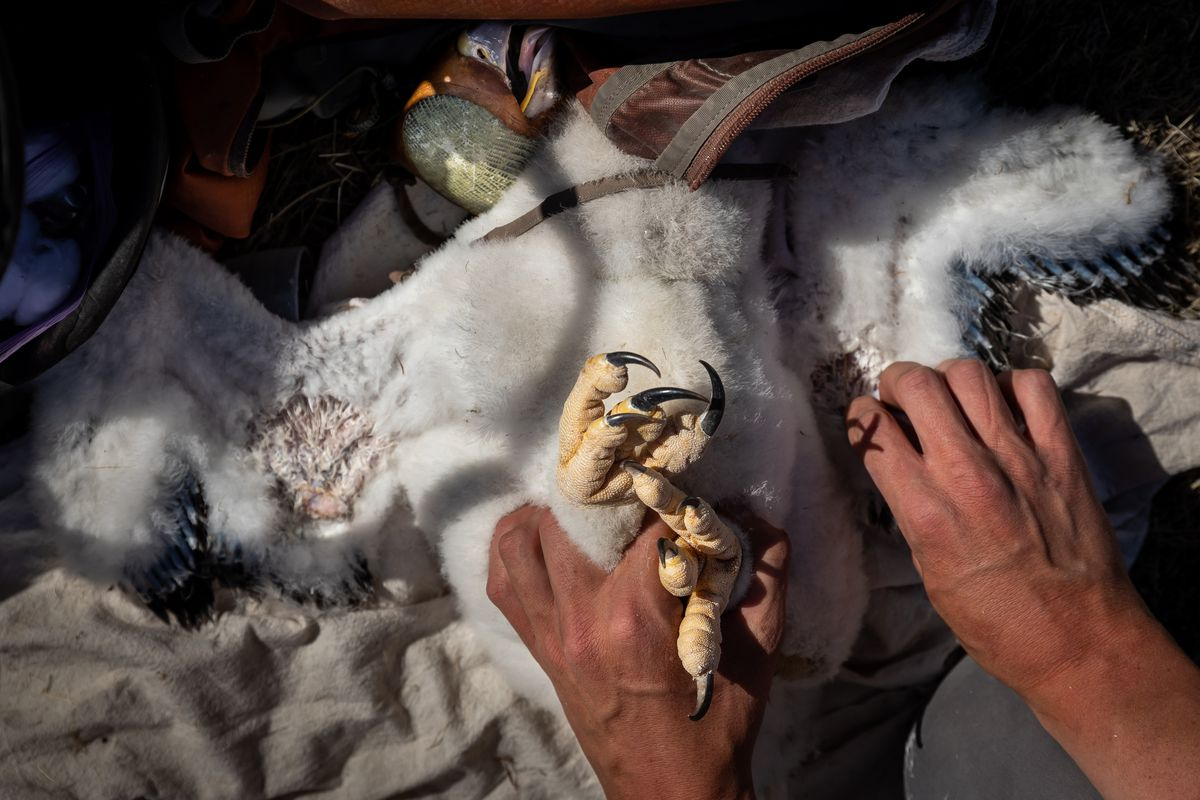 Hawkwatch International field biologist Max Carlin holds onto a golden eagle nestling while taking samples and measurements from it in a remote area of Box Elder County on Wednesday, May 19, 2021.