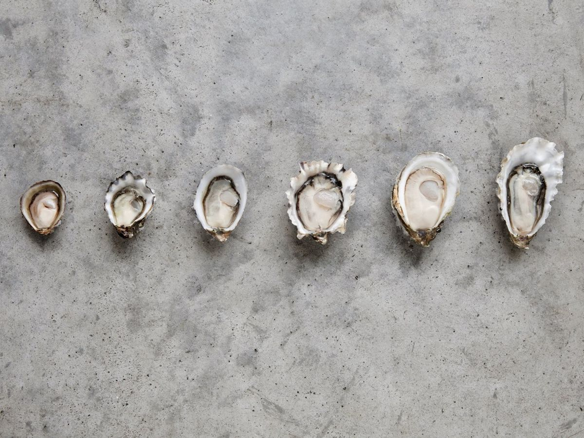 A selection of oysters of various sizes against a gray slate background at Taylor Shellfish Farms.
