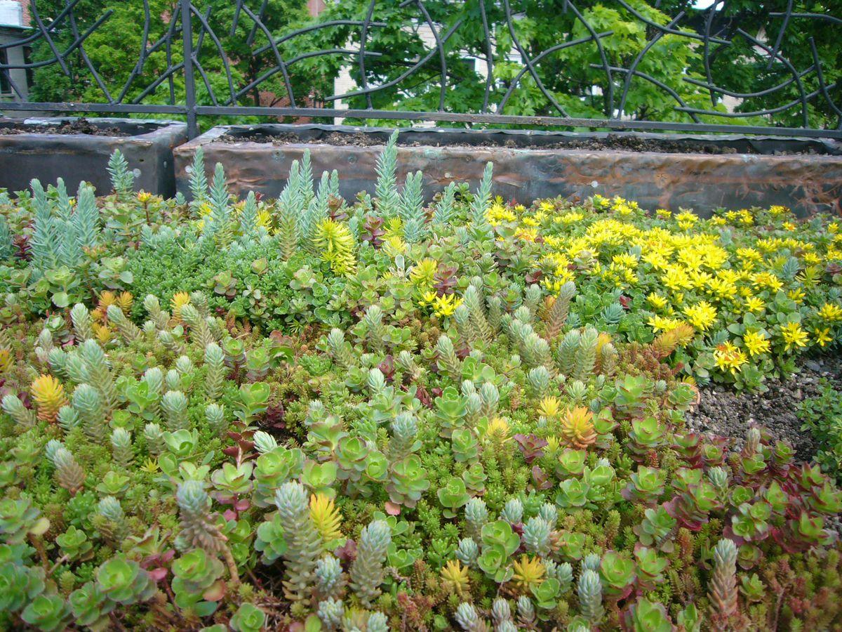 Flowering sedum